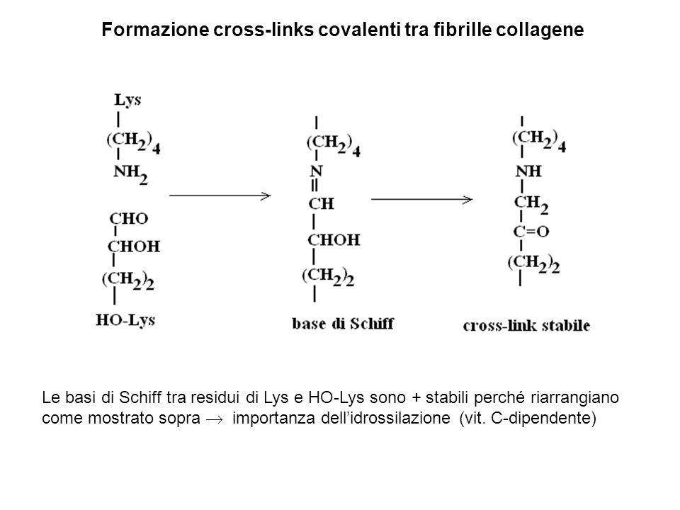 Formazione cross-links covalenti tra fibrille collagene