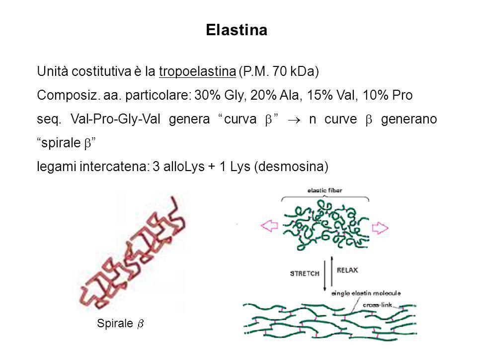 Elastina Unità costitutiva è la tropoelastina (P.M. 70 kDa)