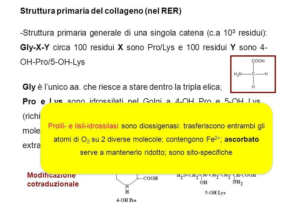 Struttura primaria del collageno (nel RER)