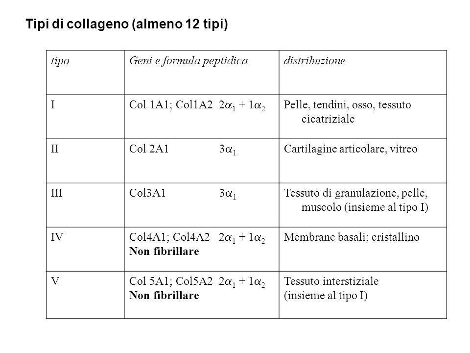 Tipi di collageno (almeno 12 tipi)