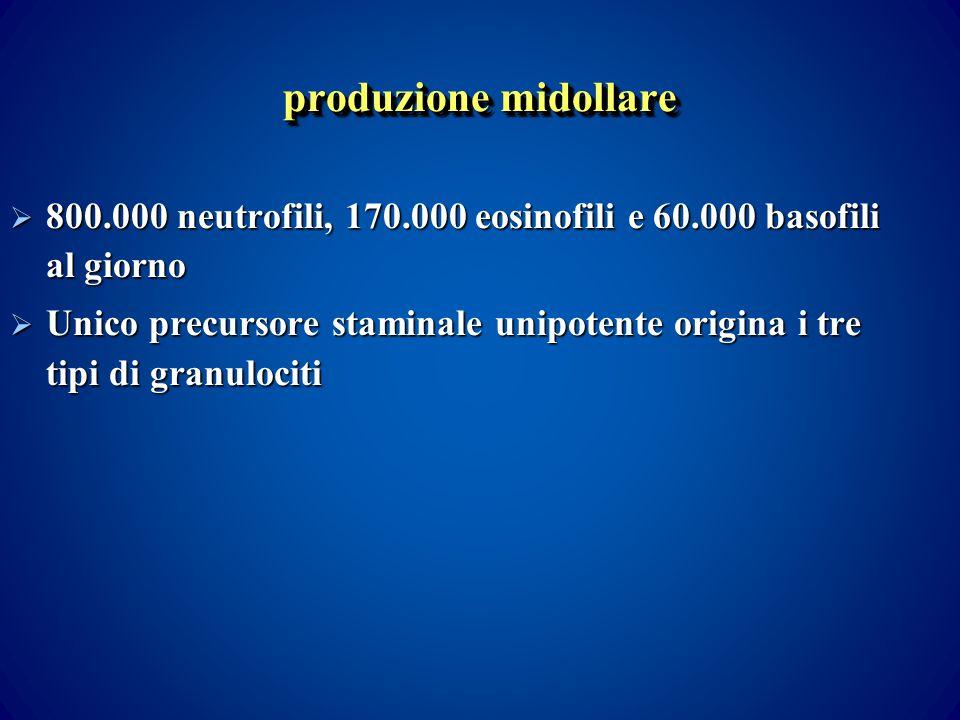 produzione midollare 800.000 neutrofili, 170.000 eosinofili e 60.000 basofili al giorno.