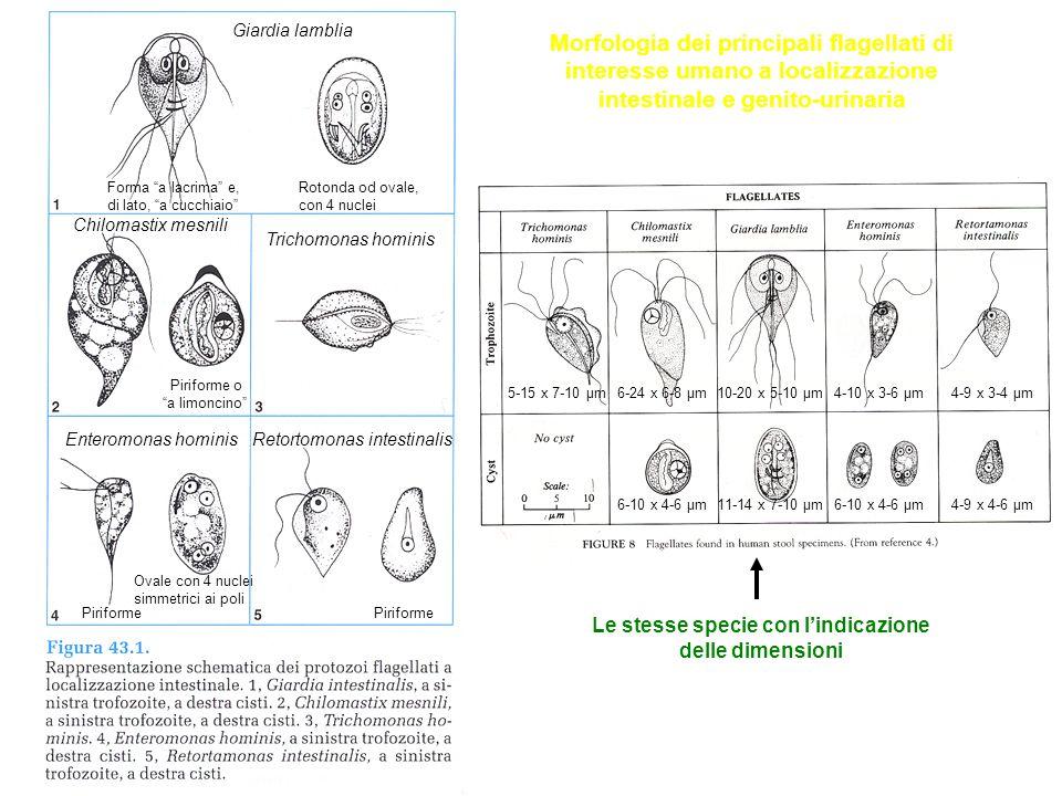 Le stesse specie con l'indicazione delle dimensioni