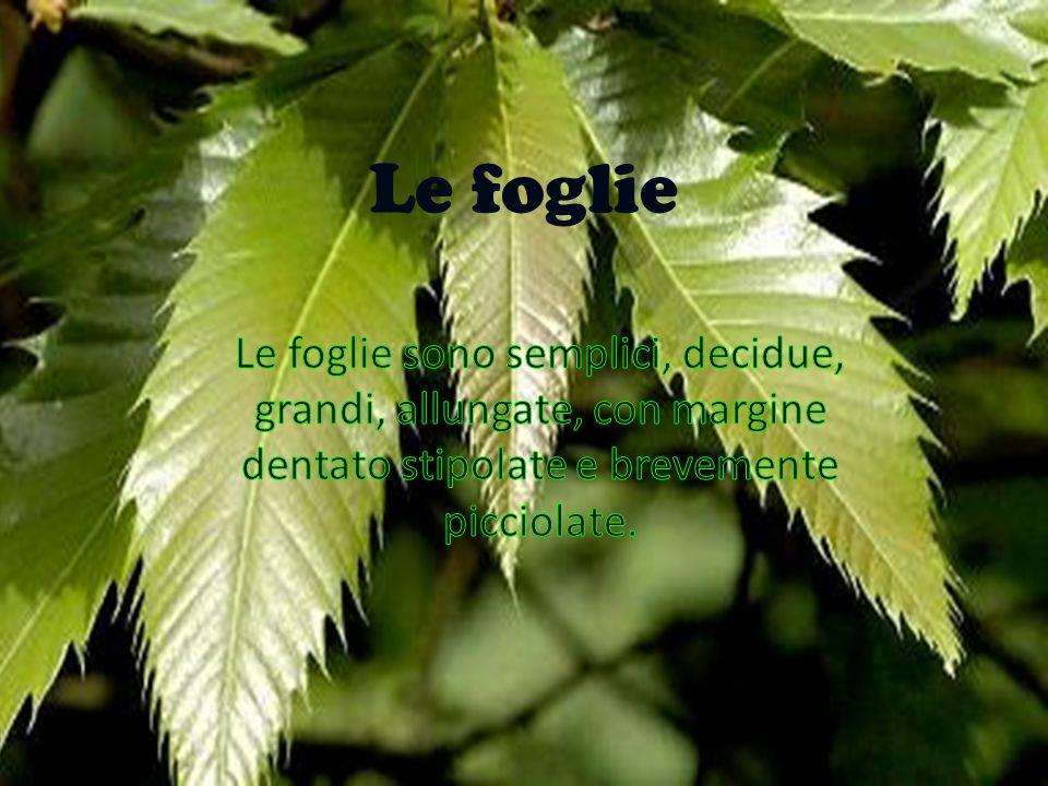 Le foglie Le foglie. Le foglie sono semplici, decidue, grandi, allungate, con margine dentato, stipolate e brevemente picciolate.