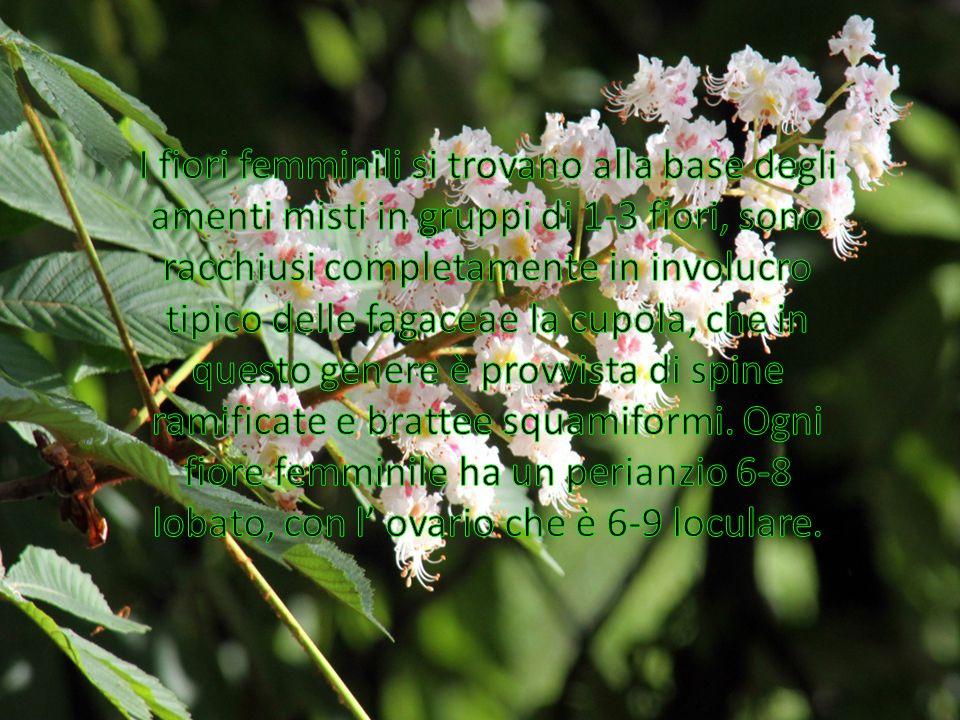 I fiori femminili si trovano alla base degli amenti misti in gruppi di 1-3 fiori, sono racchiusi completamente in involucro tipico delle fagaceae la cupola, che in questo genere è provvista di spine ramificate e brattee squamiformi.