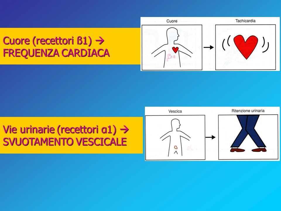 Cuore (recettori ß1)  FREQUENZA CARDIACA Vie urinarie (recettori α1)  SVUOTAMENTO VESCICALE