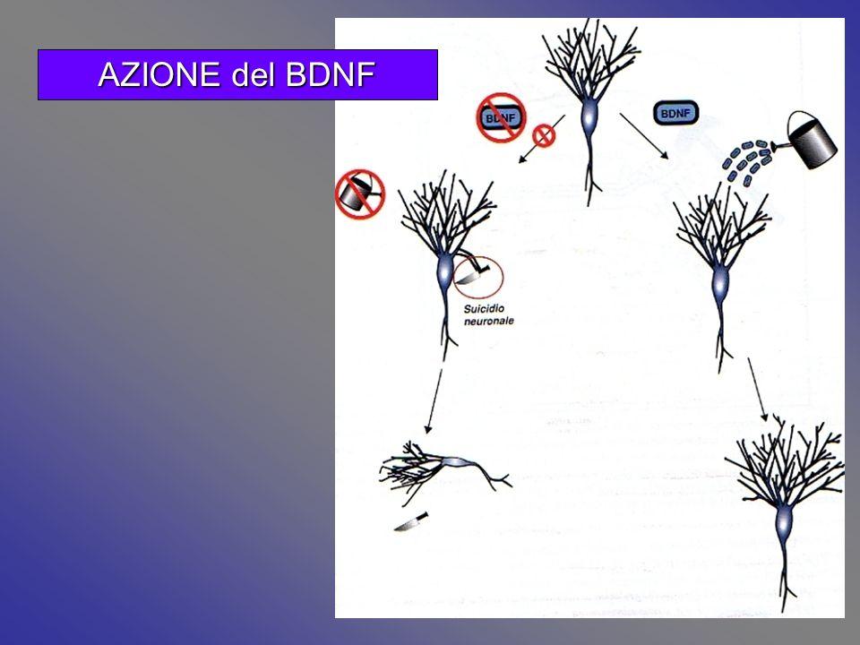 AZIONE del BDNF