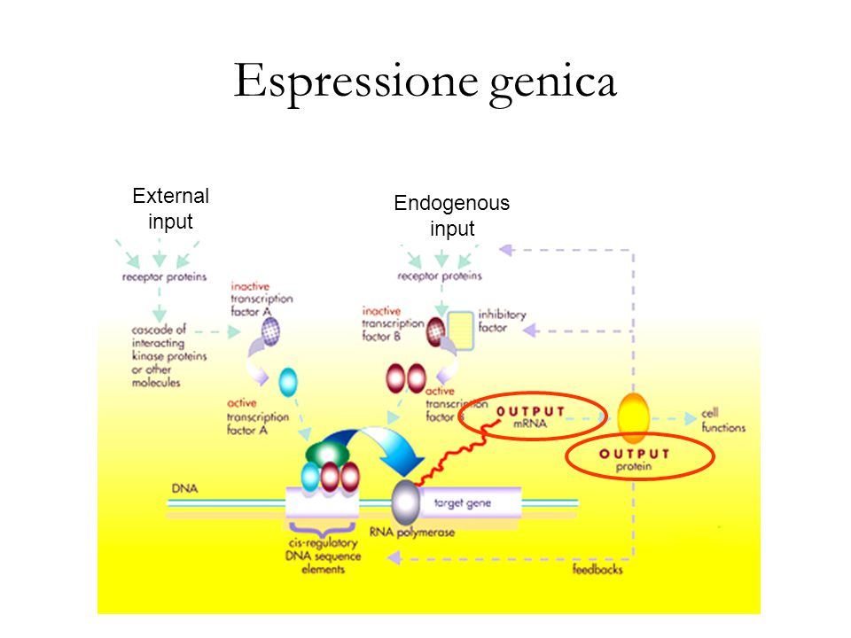 Espressione genica External input Endogenous input S2