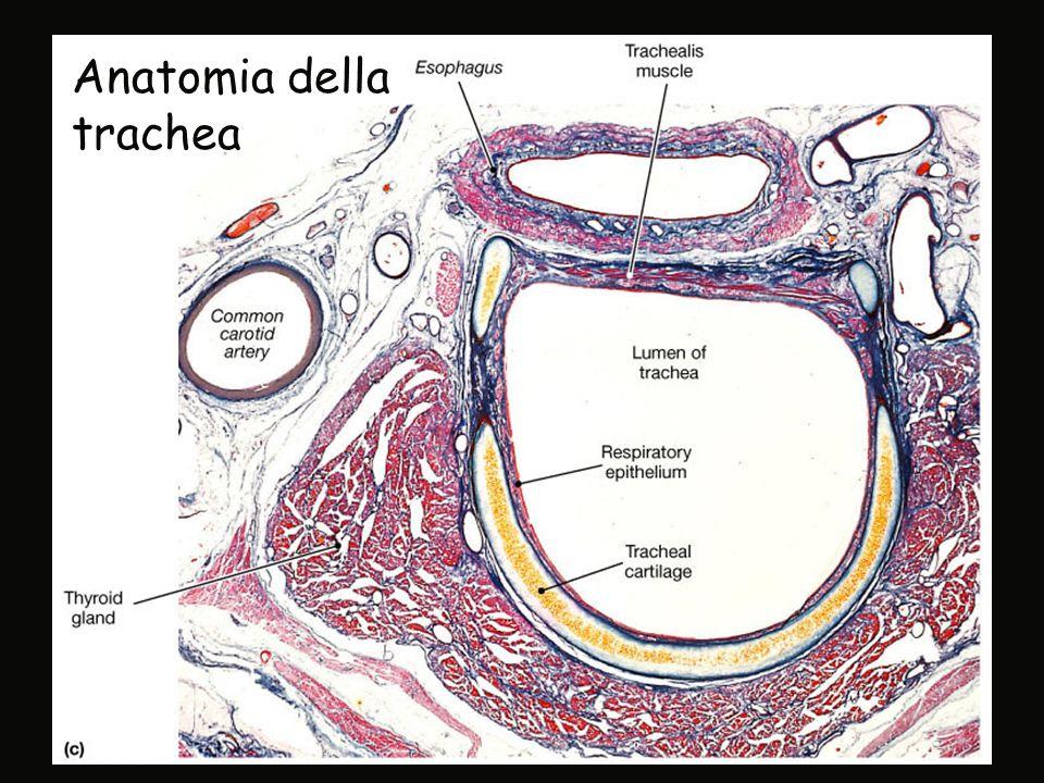Anatomia della trachea