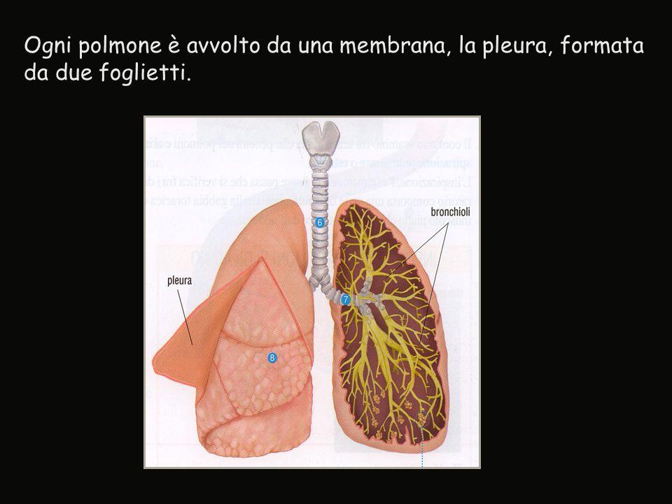 Ogni polmone è avvolto da una membrana, la pleura, formata da due foglietti.