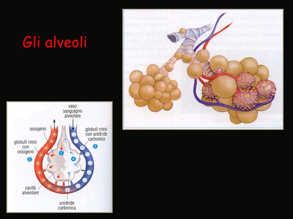 Gli alveoli