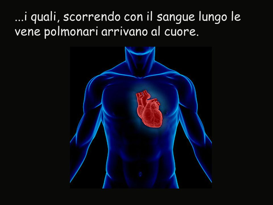 ...i quali, scorrendo con il sangue lungo le vene polmonari arrivano al cuore.