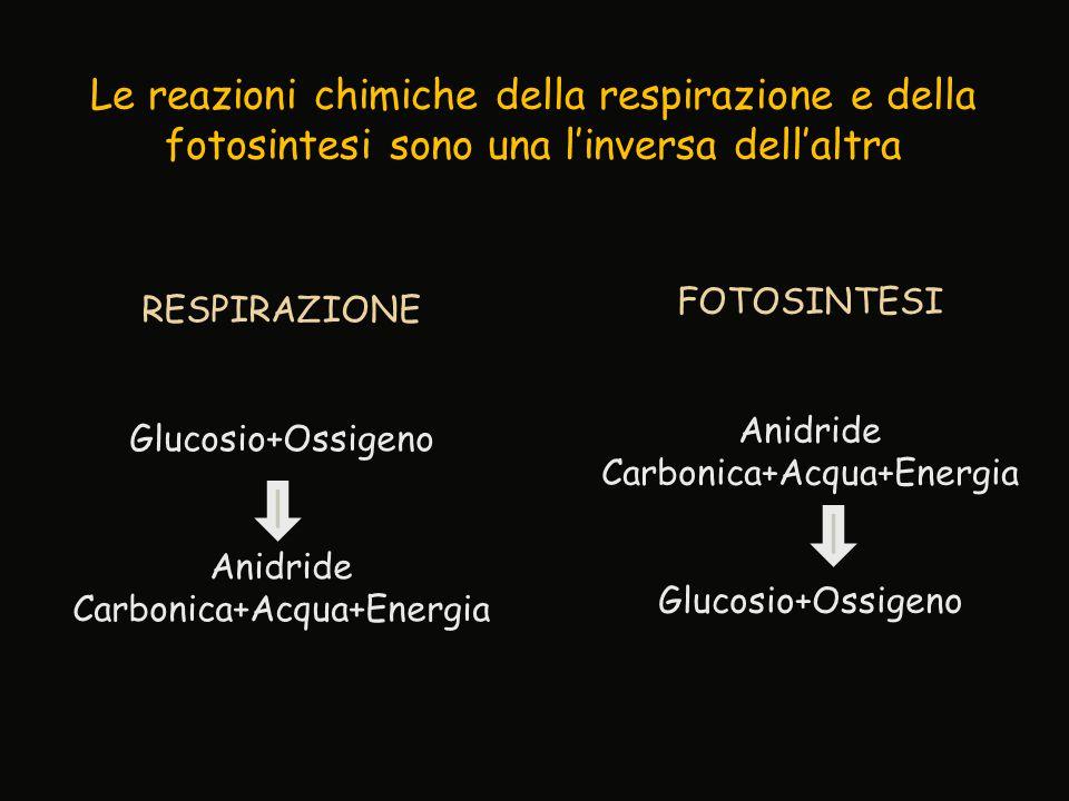 Le reazioni chimiche della respirazione e della fotosintesi sono una l'inversa dell'altra