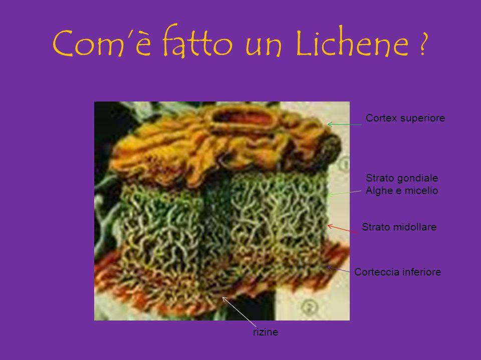 Com'è fatto un Lichene Cortex superiore Strato gondiale