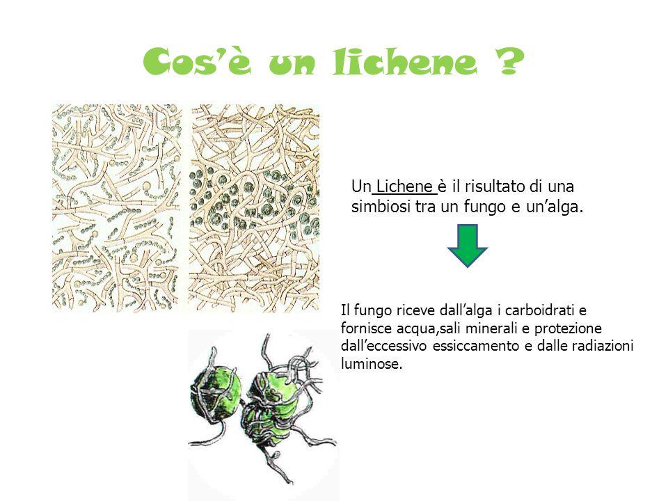 Cos'è un lichene Un Lichene è il risultato di una simbiosi tra un fungo e un'alga.