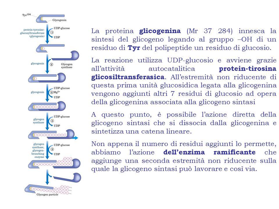 La proteina glicogenina (Mr 37 284) innesca la sintesi del glicogeno legando al gruppo –OH di un residuo di Tyr del polipeptide un residuo di glucosio.