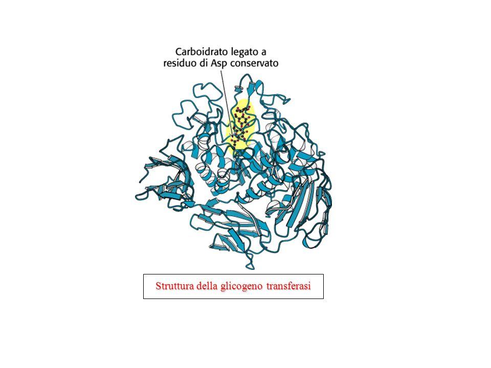 Struttura della glicogeno transferasi