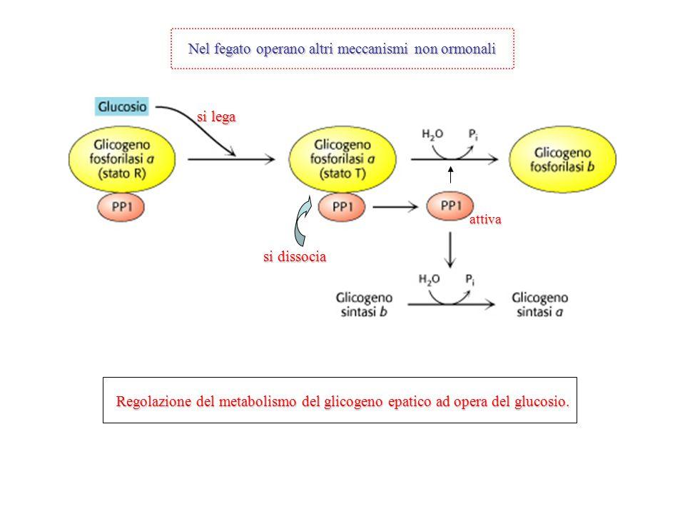 Nel fegato operano altri meccanismi non ormonali