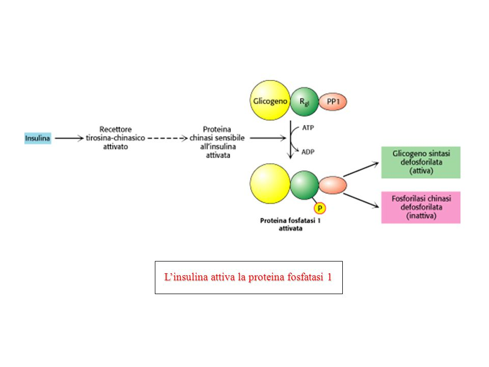 L'insulina attiva la proteina fosfatasi 1
