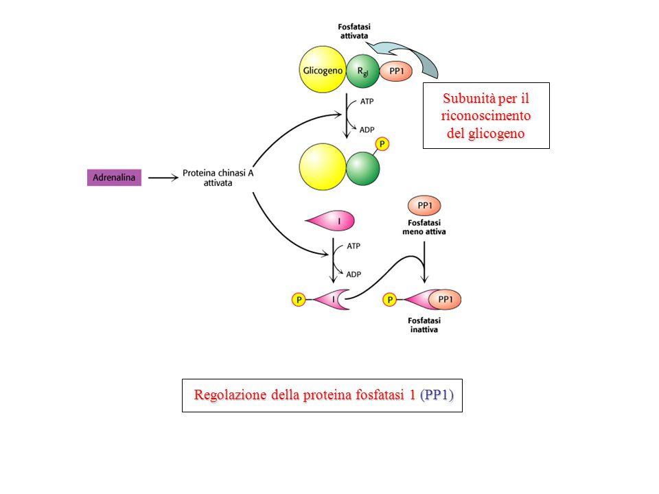 Subunità per il riconoscimento del glicogeno