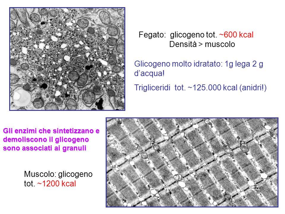 Fegato: glicogeno tot. ~600 kcal Densità > muscolo