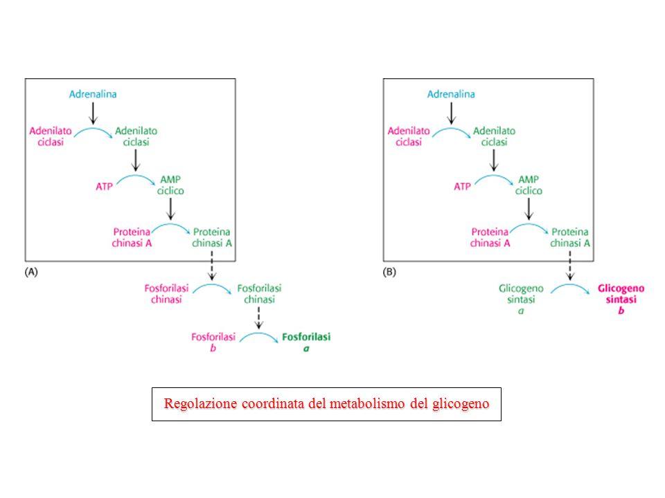 Regolazione coordinata del metabolismo del glicogeno