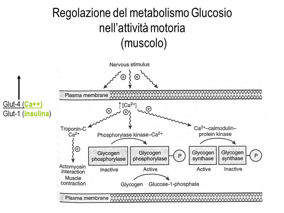 Regolazione del metabolismo Glucosio nell'attività motoria (muscolo)