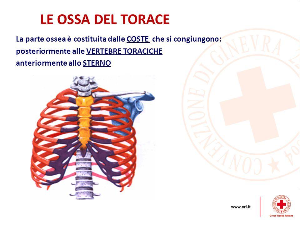 LE OSSA DEL TORACE La parte ossea è costituita dalle COSTE che si congiungono: posteriormente alle VERTEBRE TORACICHE.