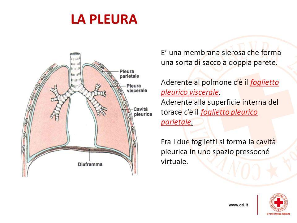 LA PLEURA E' una membrana sierosa che forma una sorta di sacco a doppia parete. Aderente al polmone c'è il foglietto pleurico viscerale.