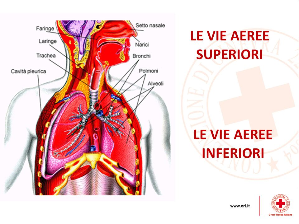 LE VIE AEREE SUPERIORI LE VIE AEREE INFERIORI