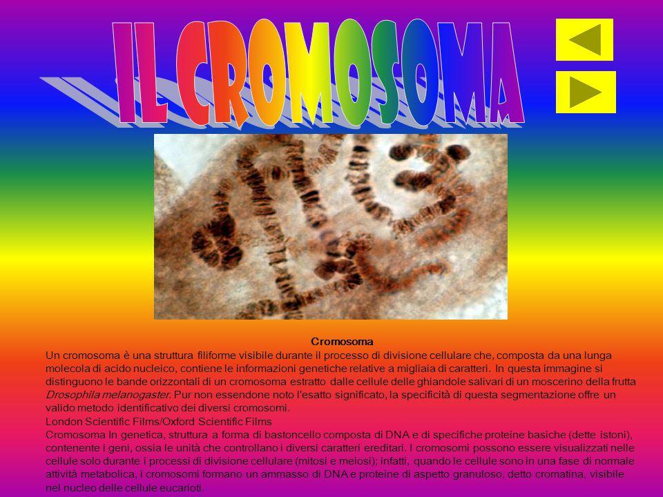 Il cromosoma Cromosoma