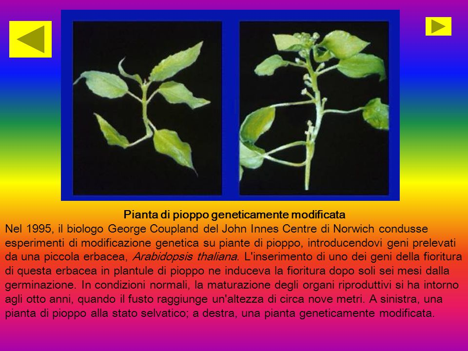Pianta di pioppo geneticamente modificata