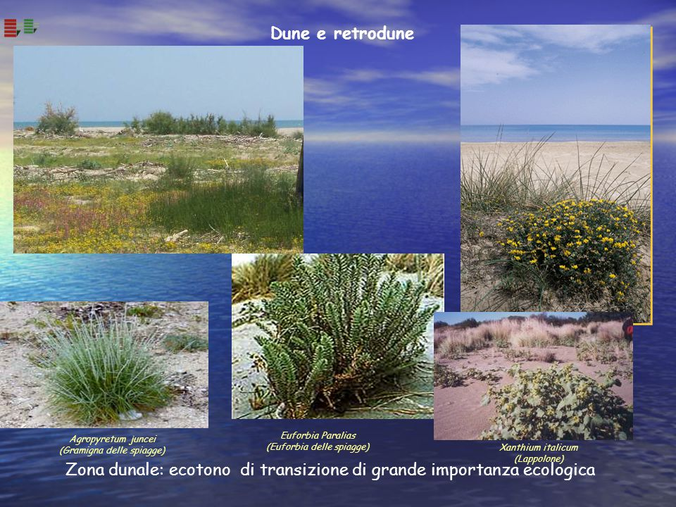 Zona dunale: ecotono di transizione di grande importanza ecologica