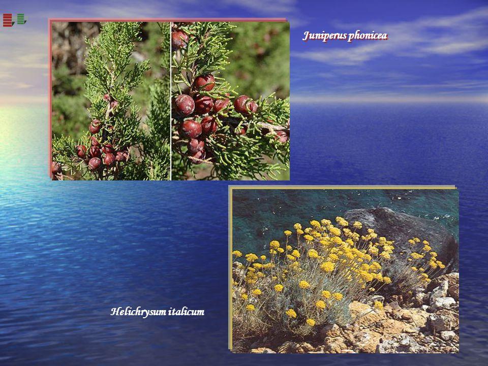 Juniperus phonicea Helichrysum italicum