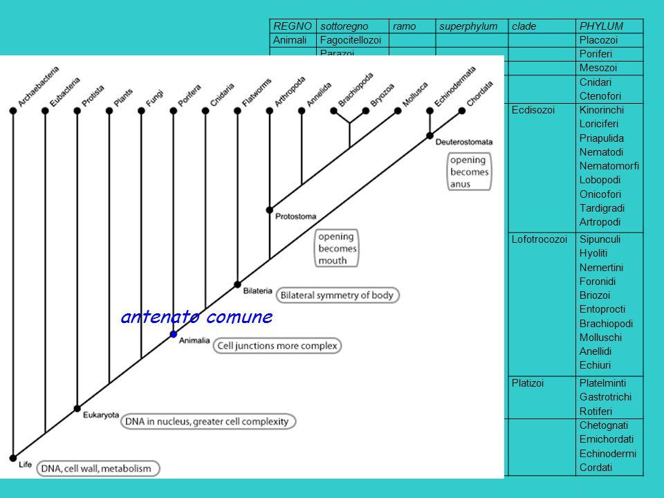 antenato comune REGNO sottoregno ramo superphylum clade PHYLUM Animali