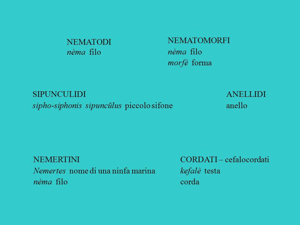 NEMATODI nèma filo. NEMATOMORFI. nèma filo. morfè forma. SIPUNCULIDI. sipho-siphonis sipuncŭlus piccolo sifone.