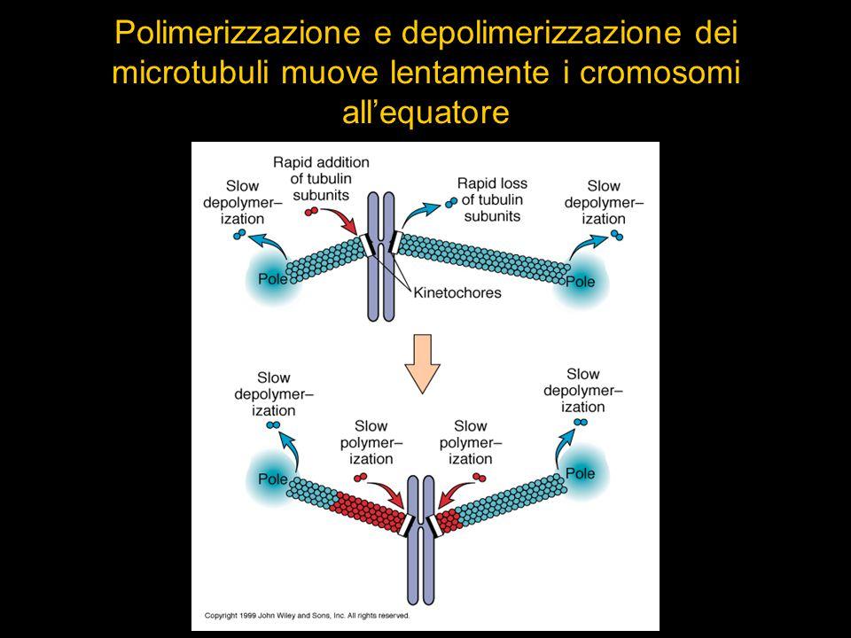 Polimerizzazione e depolimerizzazione dei microtubuli muove lentamente i cromosomi all'equatore