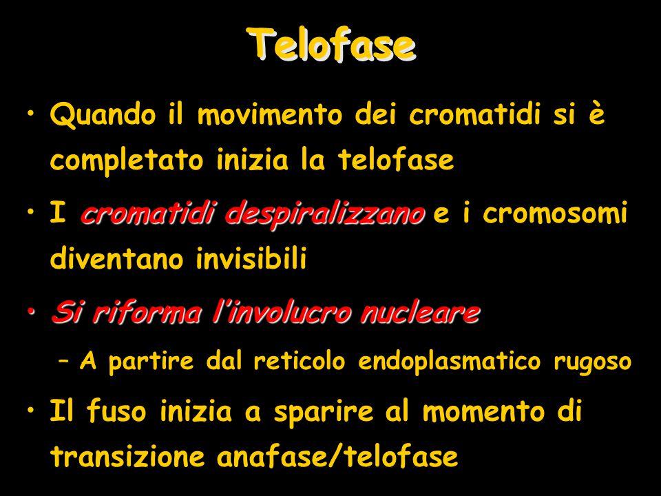 Telofase Quando il movimento dei cromatidi si è completato inizia la telofase. I cromatidi despiralizzano e i cromosomi diventano invisibili.