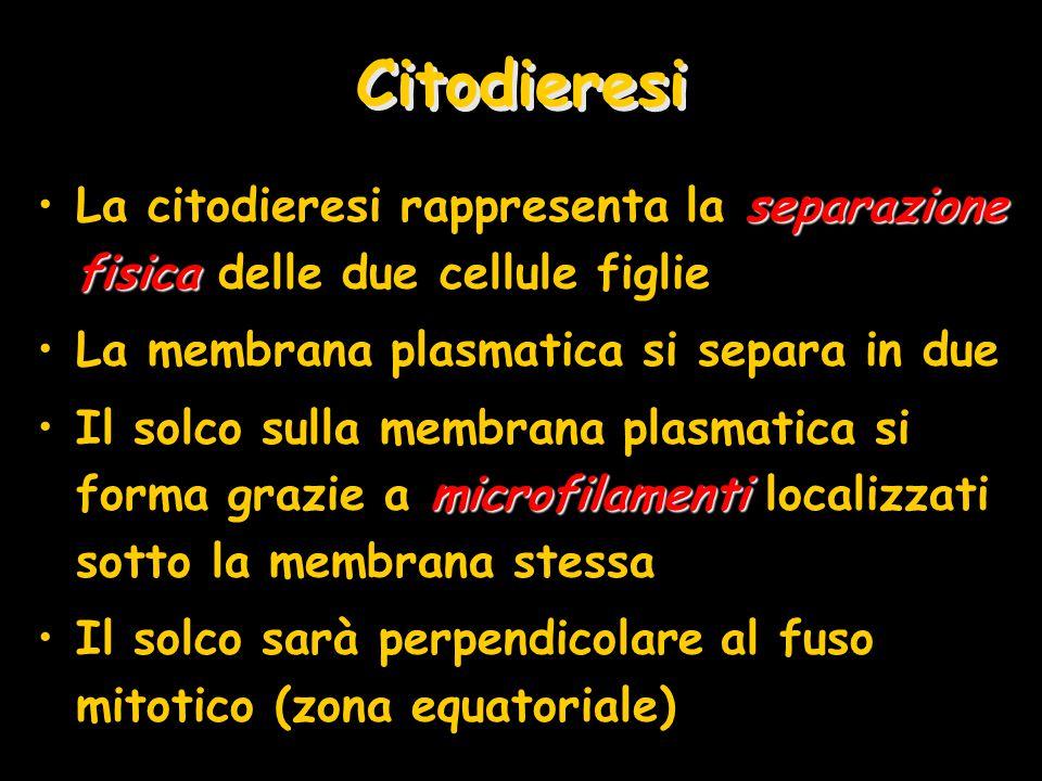 Citodieresi La citodieresi rappresenta la separazione fisica delle due cellule figlie. La membrana plasmatica si separa in due.