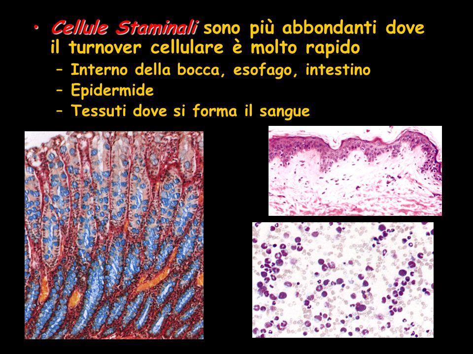Cellule Staminali sono più abbondanti dove il turnover cellulare è molto rapido