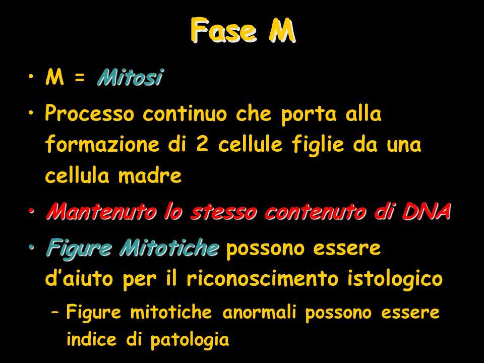 Fase M M = Mitosi. Processo continuo che porta alla formazione di 2 cellule figlie da una cellula madre.