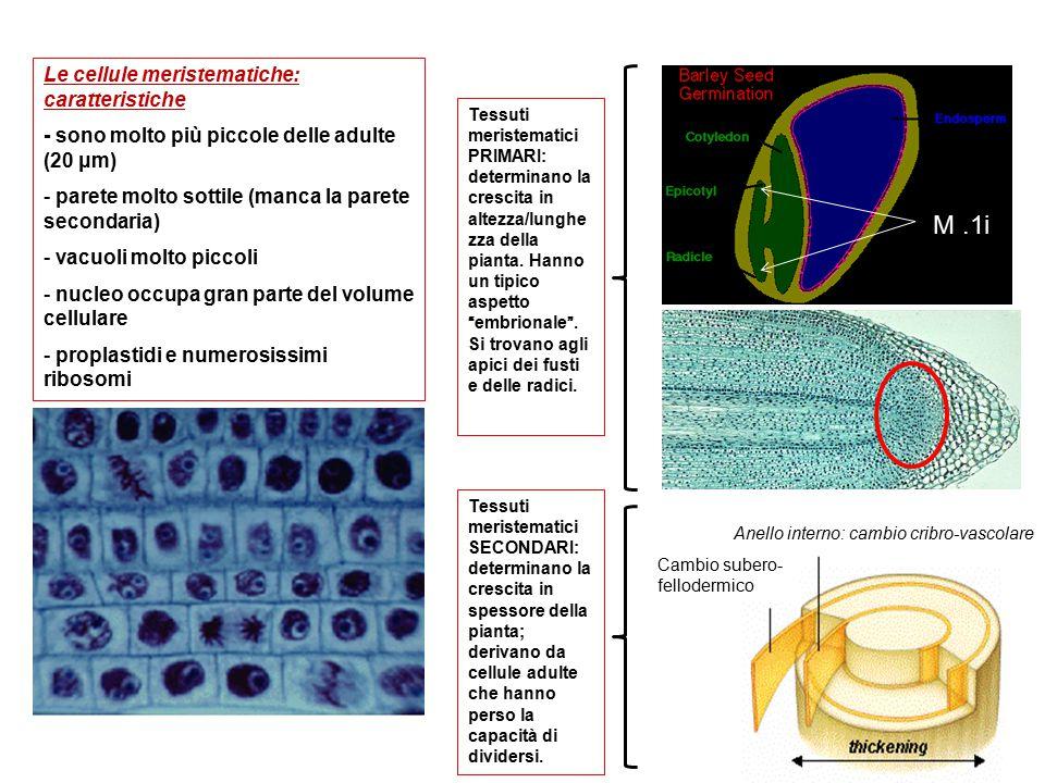 M .1i Le cellule meristematiche: caratteristiche