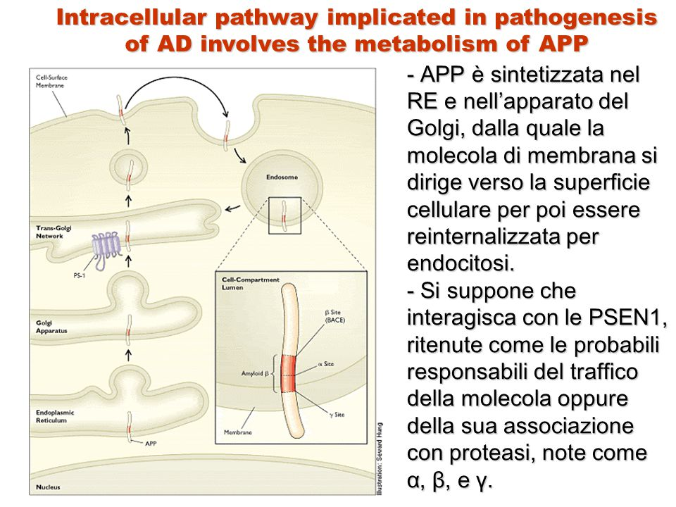 Intracellular pathway implicated in pathogenesis of AD involves the metabolism of APP