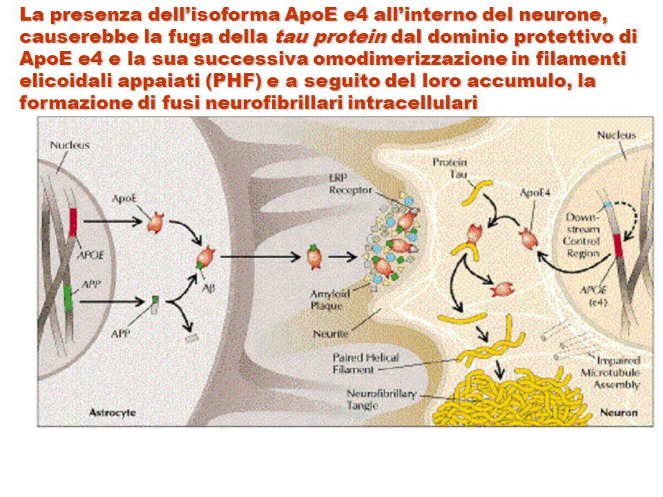 La presenza dell'isoforma ApoE e4 all'interno del neurone, causerebbe la fuga della tau protein dal dominio protettivo di ApoE e4 e la sua successiva omodimerizzazione in filamenti elicoidali appaiati (PHF) e a seguito del loro accumulo, la formazione di fusi neurofibrillari intracellulari