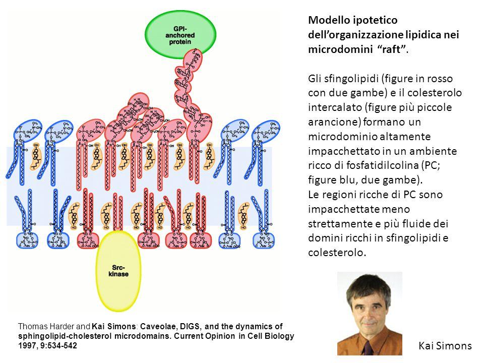 Modello ipotetico dell'organizzazione lipidica nei microdomini raft .