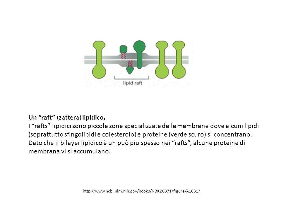 Un raft (zattera) lipidico.