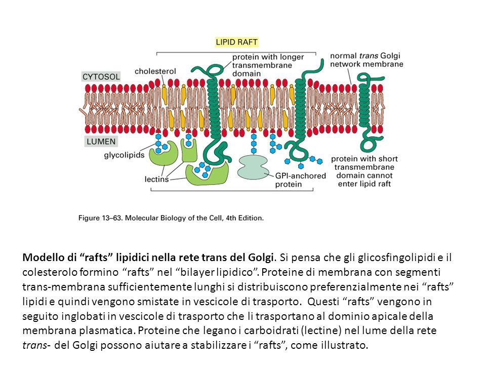 Modello di rafts lipidici nella rete trans del Golgi