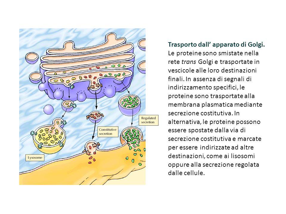 Trasporto dall' apparato di Golgi