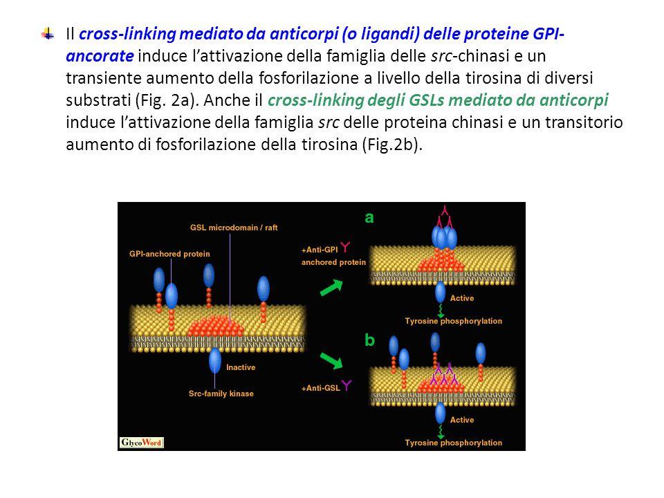 Il cross-linking mediato da anticorpi (o ligandi) delle proteine GPI-ancorate induce l'attivazione della famiglia delle src-chinasi e un transiente aumento della fosforilazione a livello della tirosina di diversi substrati (Fig.
