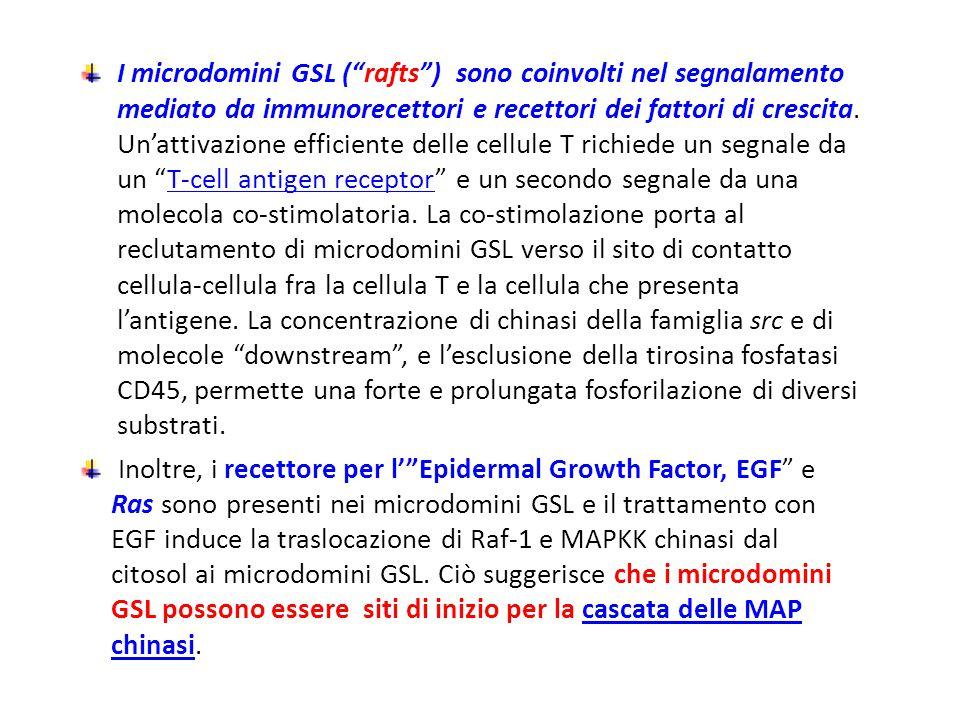 I microdomini GSL ( rafts ) sono coinvolti nel segnalamento mediato da immunorecettori e recettori dei fattori di crescita. Un'attivazione efficiente delle cellule T richiede un segnale da un T-cell antigen receptor e un secondo segnale da una molecola co-stimolatoria. La co-stimolazione porta al reclutamento di microdomini GSL verso il sito di contatto cellula-cellula fra la cellula T e la cellula che presenta l'antigene. La concentrazione di chinasi della famiglia src e di molecole downstream , e l'esclusione della tirosina fosfatasi CD45, permette una forte e prolungata fosforilazione di diversi substrati.
