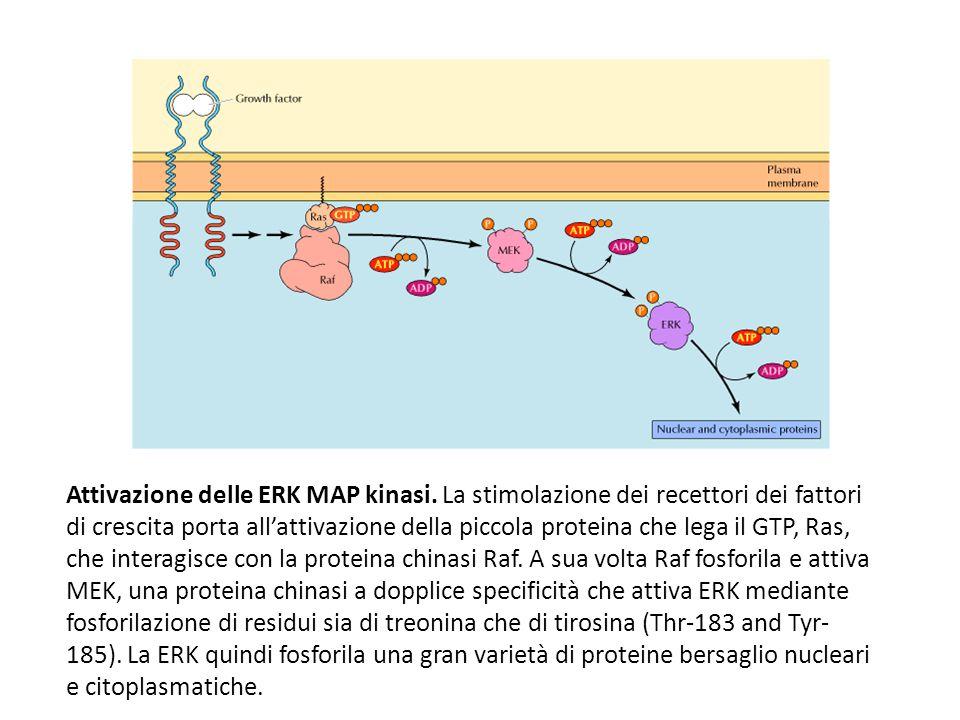 Attivazione delle ERK MAP kinasi